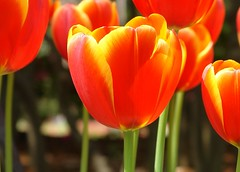 Tulips on fire II