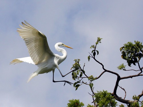 Great White Heron Landing