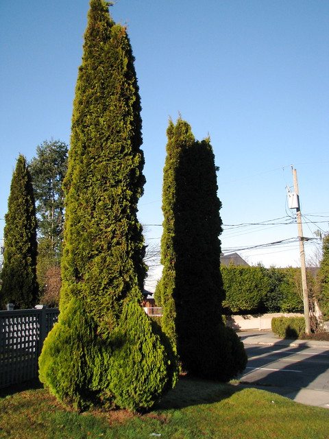 Vancouver penis-shaped hedges