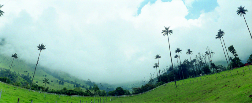 Imagen de unas palmas de cera en el Valle de Cocora - vídeos sobre el Quindio