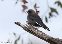 Dusky Woodswallow by Greg Miles