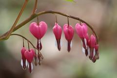 Bonus: Bleeding Hearts (Not a wildflower)
