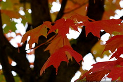 orange, red, and green maple leaves    MG 4547