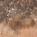 White-tailed Deer Buck 10-point by Hard-Rain