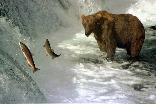 Brown bear and salmon by Ken Bondy