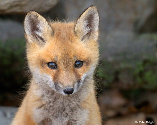 Red fox pup ( wild )