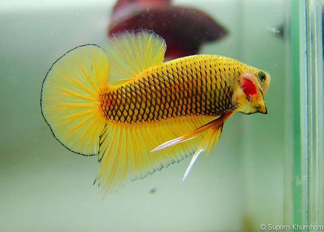 plakat-betta-3.jpg Flickr - Photo Sharing!