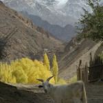 Lost Goat - Pamir Mountains, Tajikistan