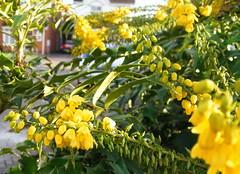 blossom(0.0), wildflower(0.0), produce(0.0), food(0.0), evergreen(1.0), shrub(1.0), flower(1.0), yellow(1.0), plant(1.0), subshrub(1.0), flora(1.0), oregon grape(1.0),