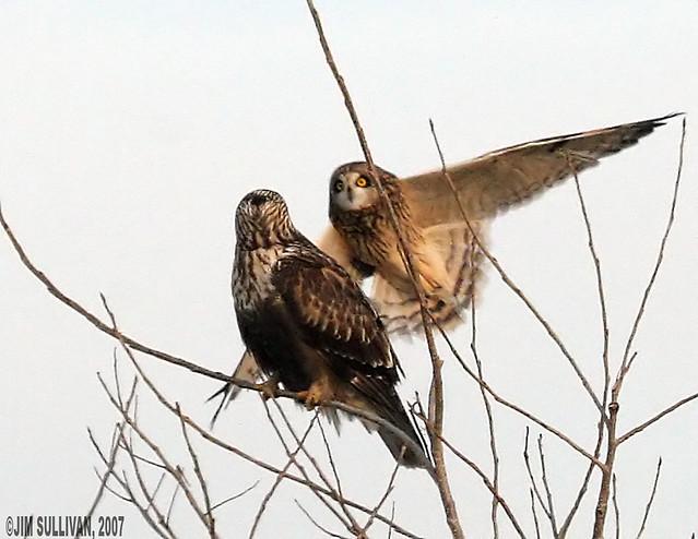 Hawk vs owl - photo#4