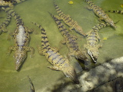 animal, crocodile, reptile, nile crocodile, fauna, american alligator, alligator, crocodilia,
