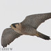Peregrine Falcon - Photo (c) Eric de Leeuw, some rights reserved (CC BY-NC-ND)
