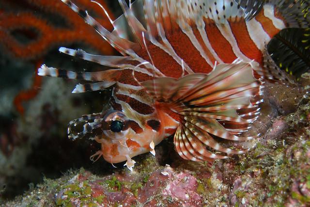 zebra dwarf lionfish |...
