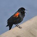 male Red-Winged Black Bird-(Agelaius phoeniceus) by jeslu