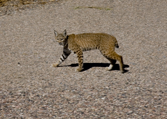 Juvenile bobcat in the driveway