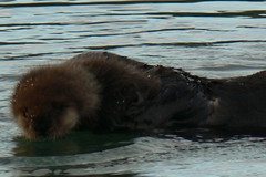otter(0.0), pet(0.0), sea otter(0.0), newfoundland(0.0), animal(1.0), mustelidae(1.0), mammal(1.0),