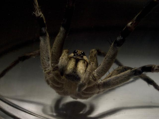 Man Eating Spider | Flickr - Photo Sharing!