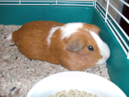 Pregnant Cavy. This beautiful piggie was surrendered at Lafayette Animal ...