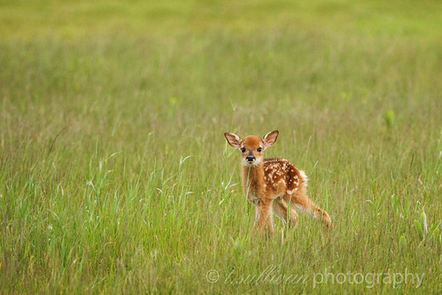 The Littlest Fawn (Shenandoah National Park)