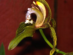 Cymbidium tracyanum orchid species