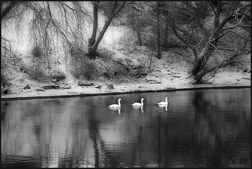 Swans on the Credit