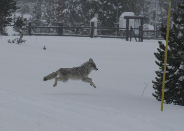 coyote running 2 | Flickr - Photo Sharing!  coyote running ...