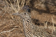 animal, fauna, close-up, ruffed grouse, beak, bird, lark, galliformes, wildlife,