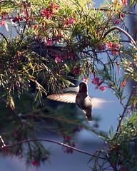 Hummingbird Mid-Flight