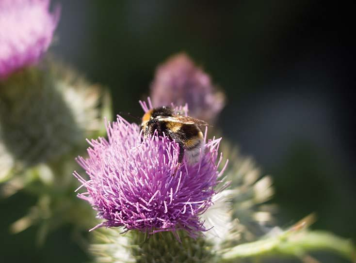 Thistle Bee by Nicholas M Vivian
