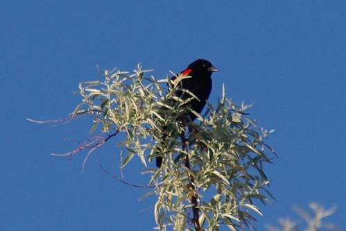 morning osoyoos wetland agelaiusphoeniceus redwingblackbird haynespoint