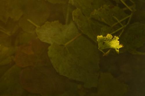 sunrise leaf raw grapes