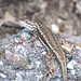 Striped Plateau Lizard - Photo (c) Jerry Oldenettel, some rights reserved (CC BY-NC-SA)