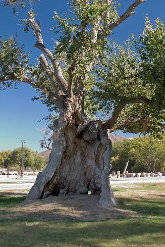 Old Cottonwood Tree