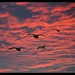 Sunset gulls