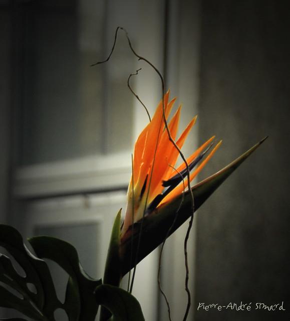 oiseau du paradis flickr photo sharing. Black Bedroom Furniture Sets. Home Design Ideas