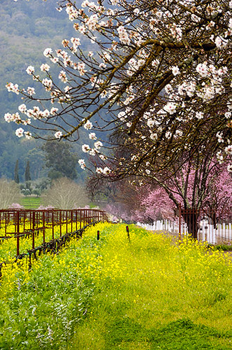 Spring arrives in Napa Valley