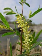 Salix nigra