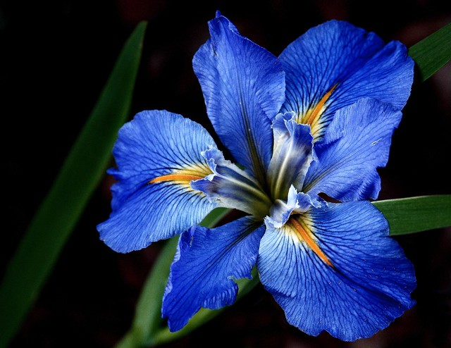 blue louisiana iris flickr photo sharing. Black Bedroom Furniture Sets. Home Design Ideas