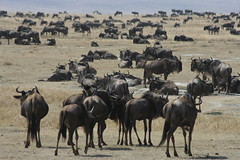 adventure(0.0), pack animal(0.0), mustang horse(0.0), cattle-like mammal(1.0), animal(1.0), steppe(1.0), wildebeest(1.0), mammal(1.0), herd(1.0), natural environment(1.0), landscape(1.0), savanna(1.0), grassland(1.0), safari(1.0), wildlife(1.0),