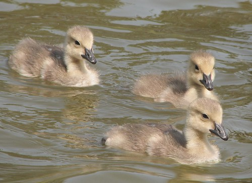 Golden goslings