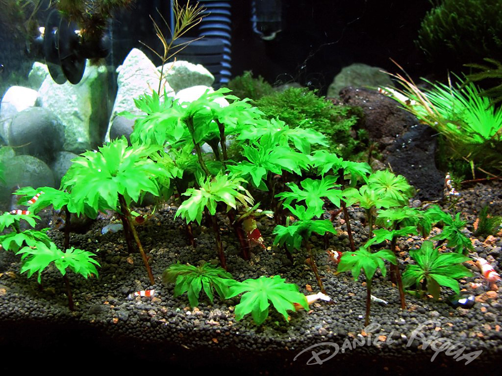 Aquarium plants central aquarium plant central aquatic for Freshwater fish tank plants
