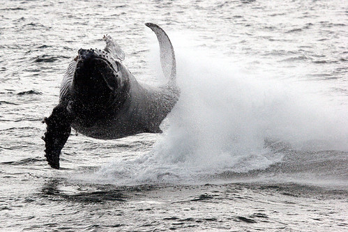 Leaping Humpback