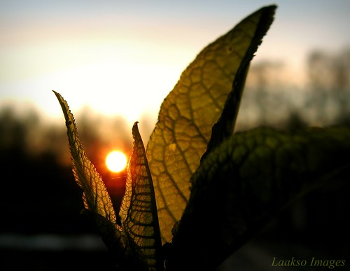 sunset sun macro green nature canon suomi finland leaf maria images sue kerimäki luonto laakso canonpowershota710is marialaakso sue323 laaksoimages