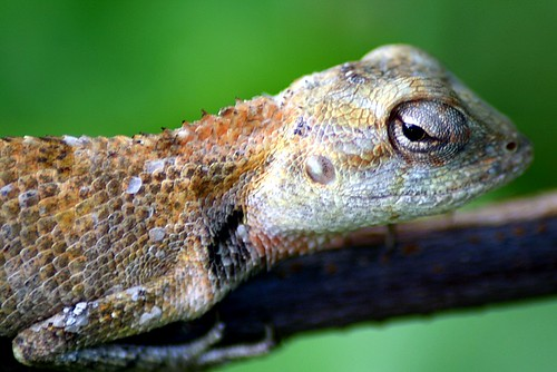 Portrait of a Lizard