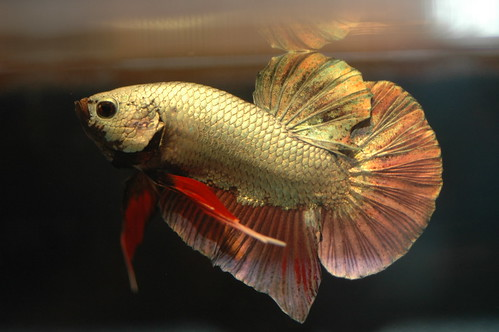 Betta fish for sale where to buy bettas fish care for Betta fish for sale at walmart
