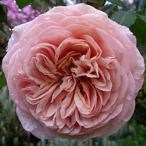 david austin english roses flickr photo sharing. Black Bedroom Furniture Sets. Home Design Ideas