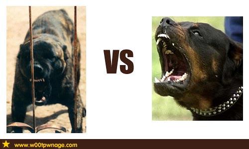 Dogo Sardesco vs Rottweiler | Flickr - Photo Sharing!