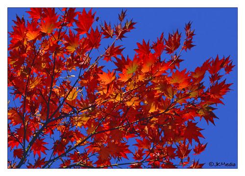 blue autumn red sky tree leaves lumix searchthebest arboretum westonbirt soe naturesfinest artisticexpression abigfave platinumphoto anawesomeshot impressedbeauty diamondclassphotographer flickrdiamond 15challengeswinner fabcap jkmedia