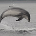 Bottlenose dolphins by clivewhatley