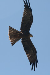 eagle(0.0), animal(1.0), hawk(1.0), bird of prey(1.0), falcon(1.0), wing(1.0), fauna(1.0), buzzard(1.0), kite(1.0), bird(1.0), flight(1.0),